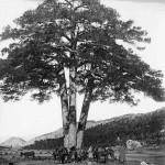 El Pi de les tres branques-1905