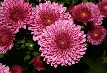 crisantemo (1)