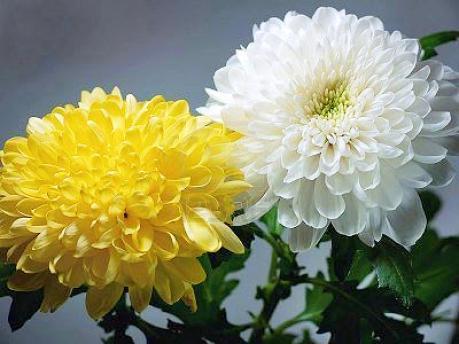 Crisantemo (2)